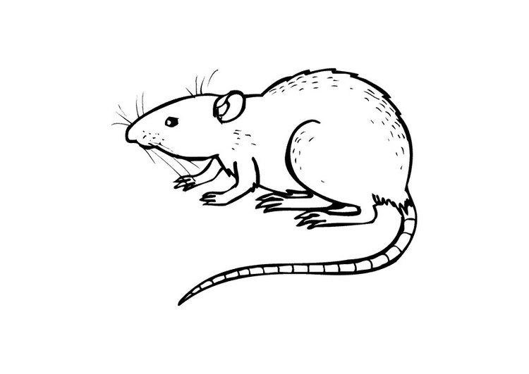 Coloring page rat