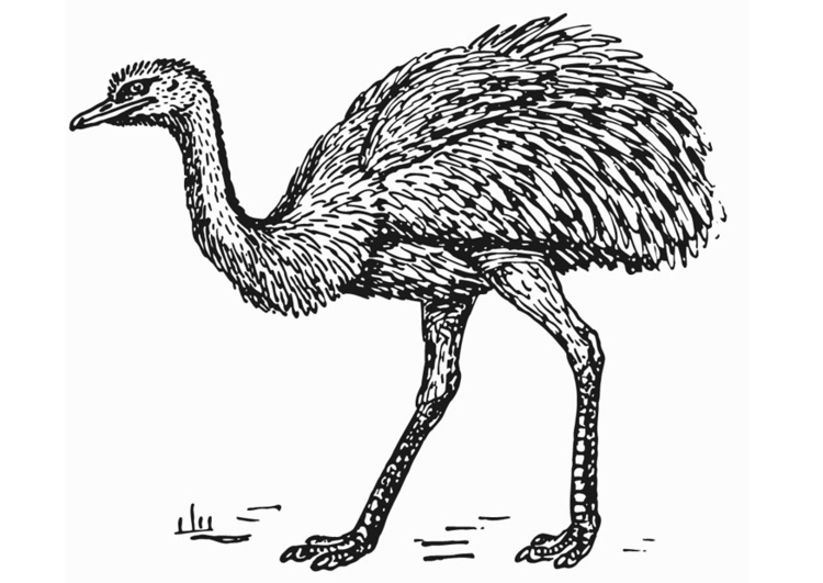 Coloring page Rhea - Ostrich