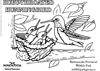 Coloring page ruby-throated hummingbird