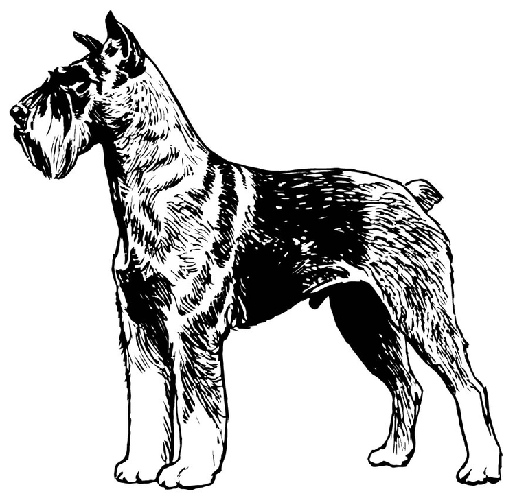 Coloring page Schnauzer