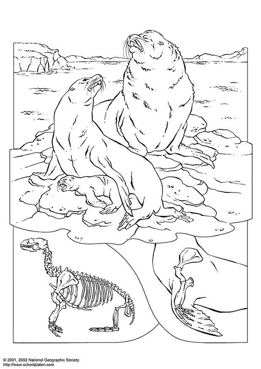 Coloring page sea lions