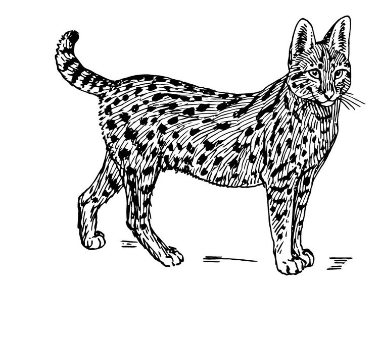 Perfect Coloring Page Serval