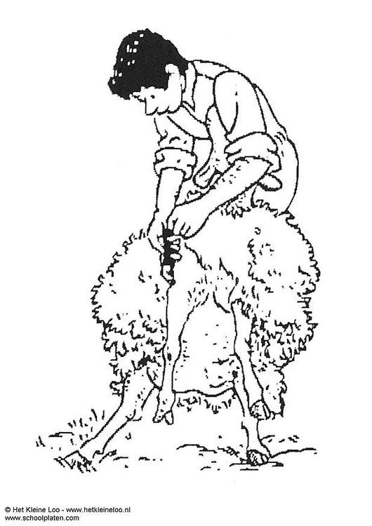 Coloring page shearing sheep