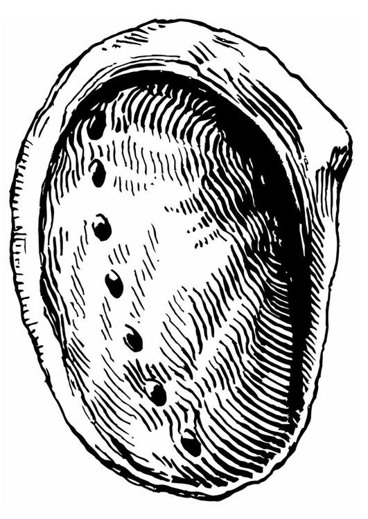 Coloring Page Shell Abalone Img 19632