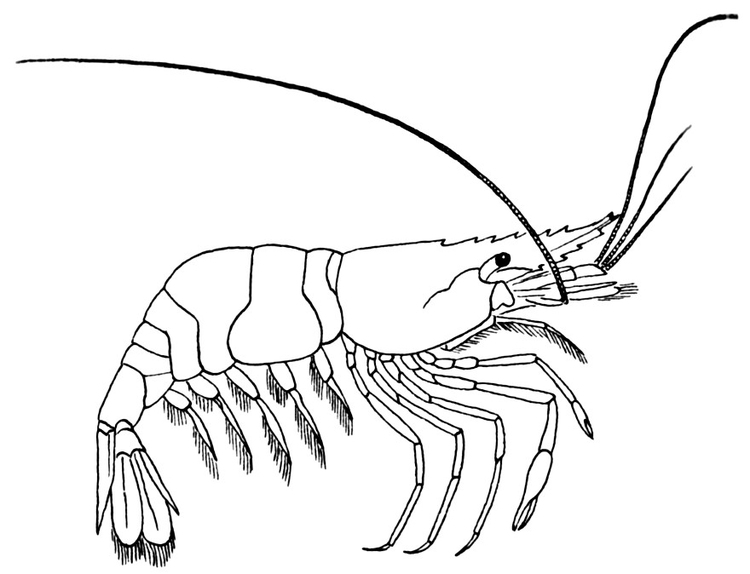 Coloring page Shrimp