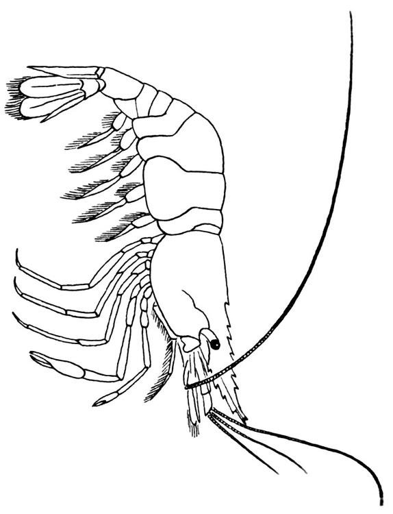 Coloring page Shrimp img 15952