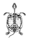 Coloring pages skeleton of tortoise