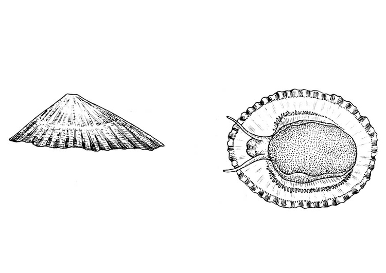 Coloring page snail - common limpet