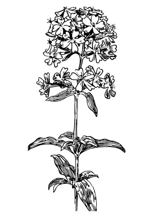 Coloring page soapwort