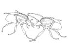 Coloring page sparring beetles