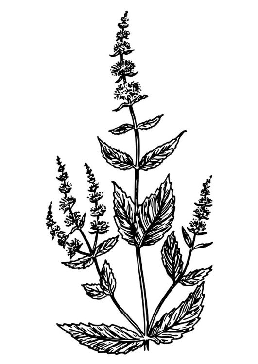 Coloring page spearmint