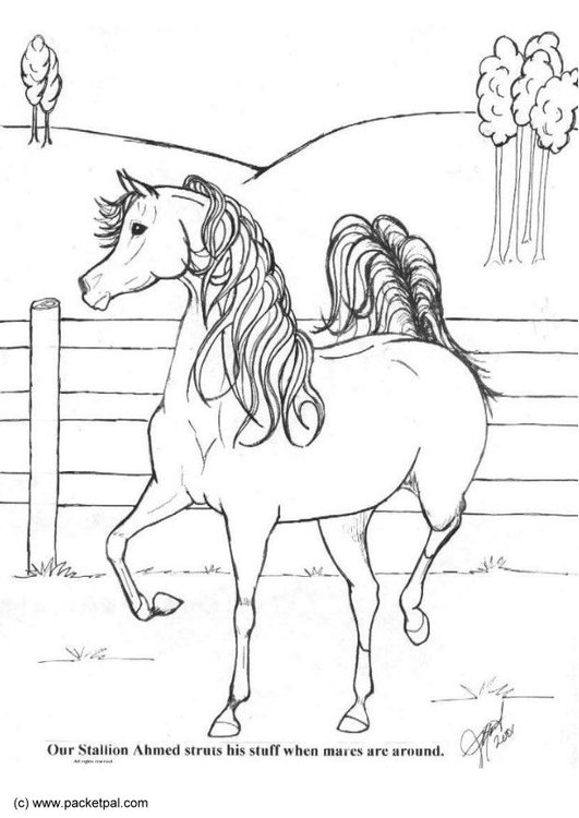 Coloring page stallion Achmed