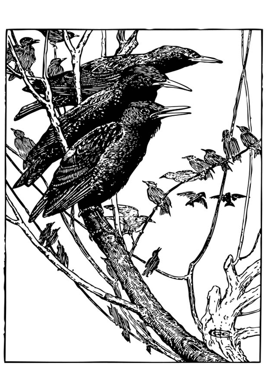 Coloring page Starling