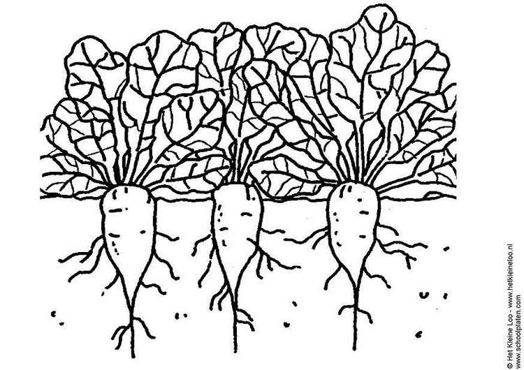 Coloring page sugar beets