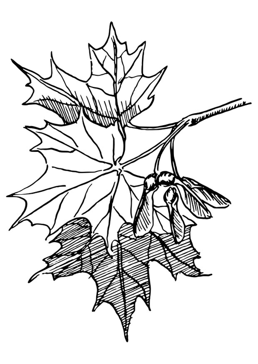 Coloring page sugar maple