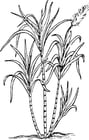 Coloring pages sugarcane
