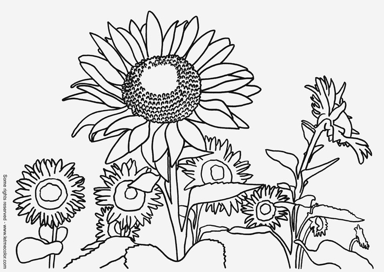 Coloring page sunflowers