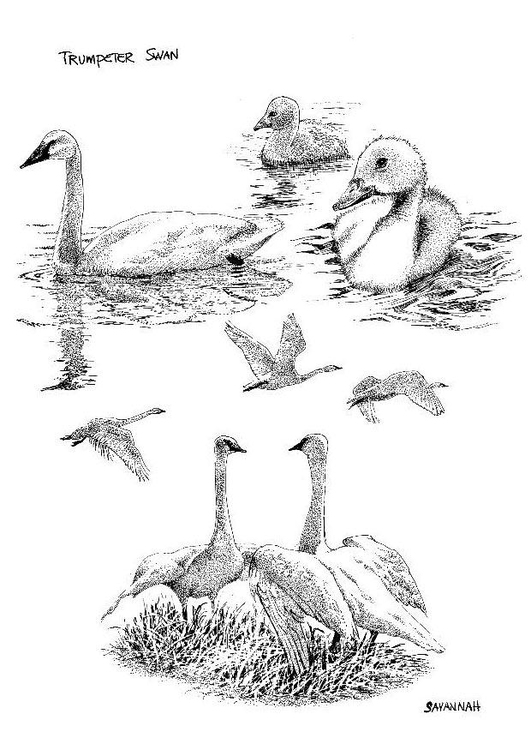 Coloring page swan swans
