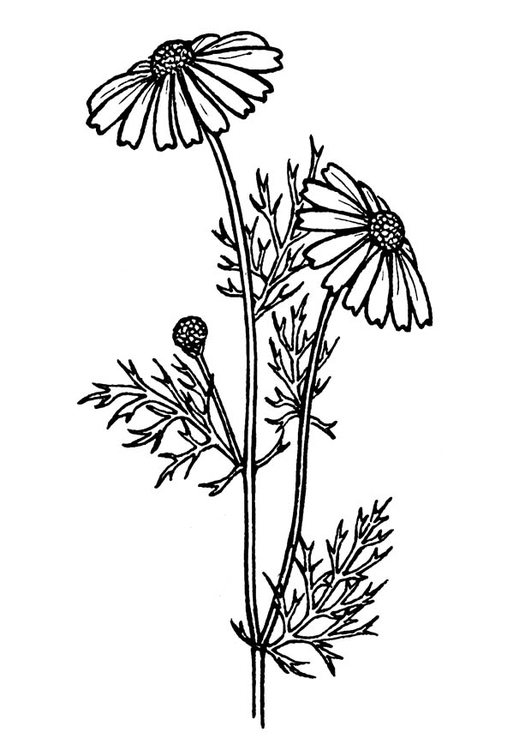 Coloring page tansy