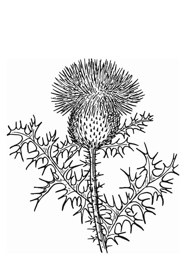 Coloring Page Thistle Free Printable Coloring Pages
