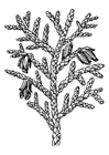 Coloring pages thuja