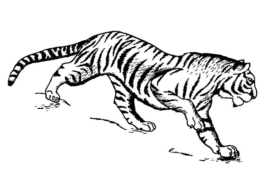 Coloring page tiger - img 16629.