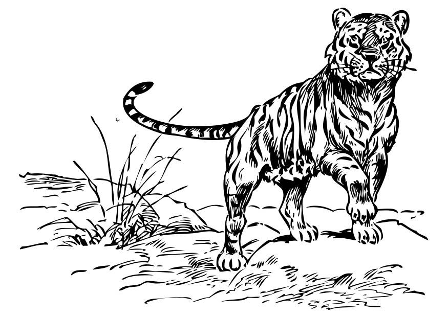 Coloring page Tiger - img 17378.