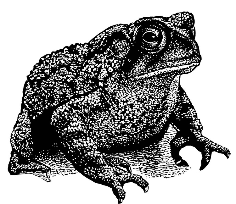 Coloring page toad
