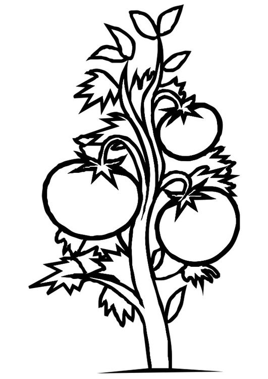 Coloring page tomato plant