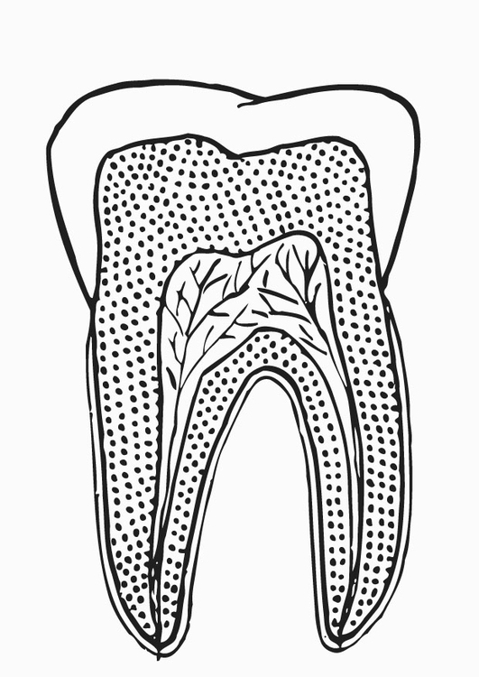 Coloring page tooth section