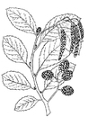 Coloring pages tree - alder
