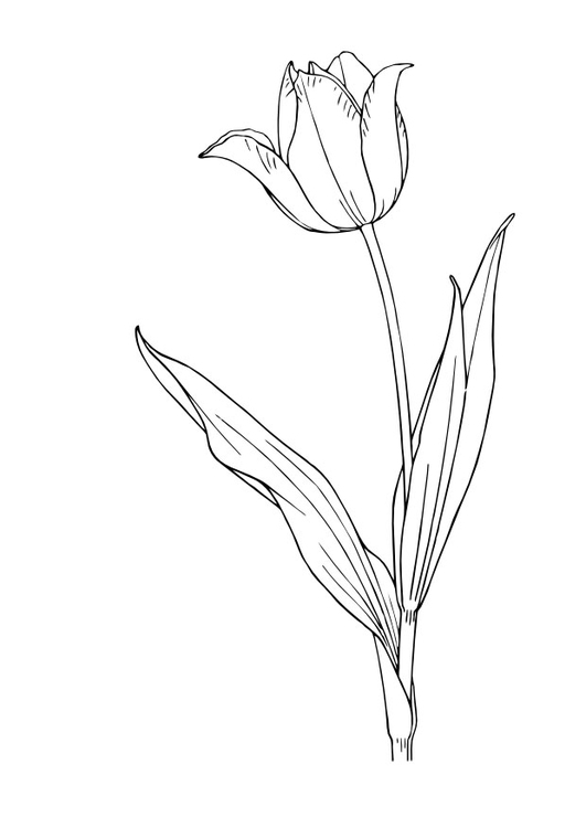 Coloring page tulip