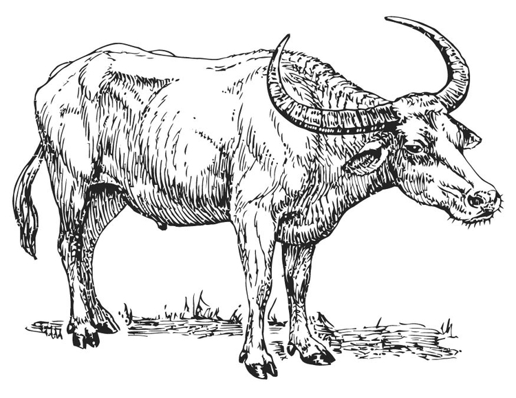 Coloring page water buffalo