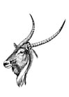 Coloring pages waterbuck
