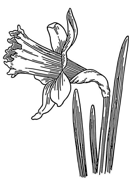Coloring page wild daffodil