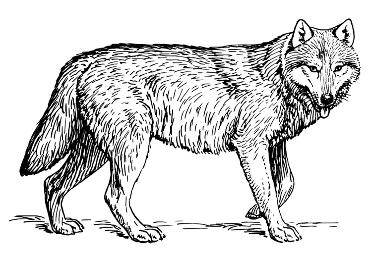 - Coloring Page Wolf - Free Printable Coloring Pages