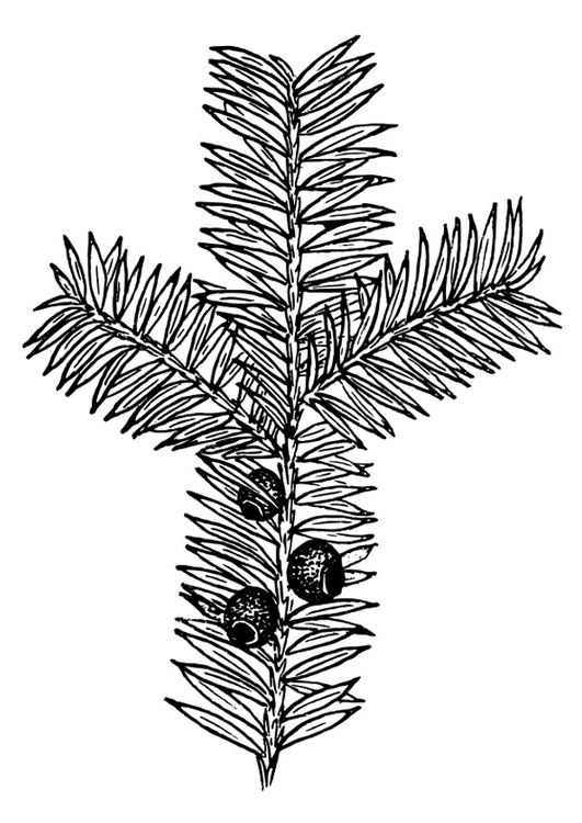 Coloring page yew