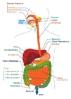 Image digestive system - French