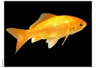 Photo goldfish