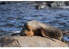 Photo sea lion