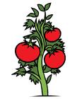 Image tomato plant