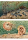 Images Trilobites ands ammonoids