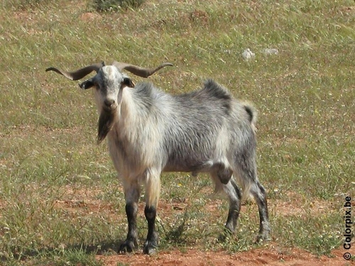 Photo male goat