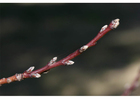 1. nectarine leaf buds early winter