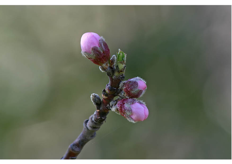 Photo 2.  nectarine bud early spring