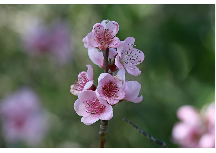 Photo 3.  nectarine flower