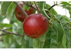Photo 6. ripe nectarine midsummer