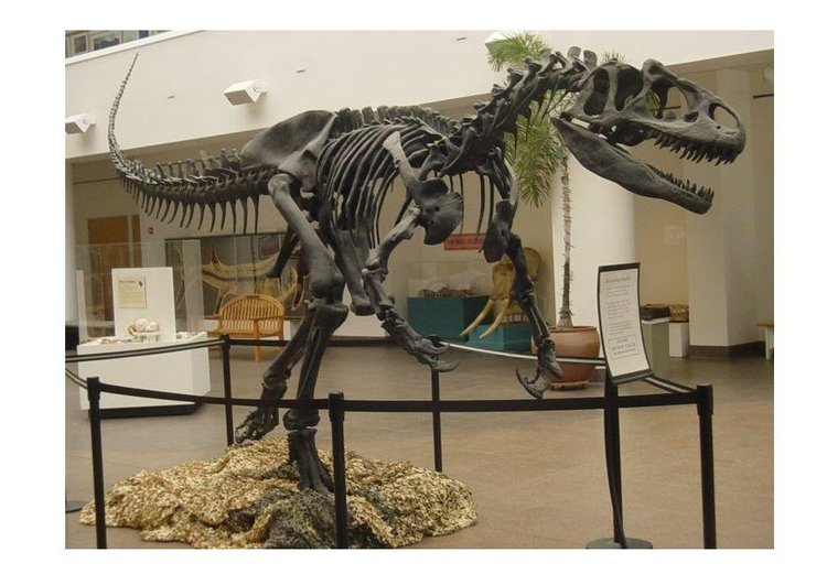 Photo allosaur skull