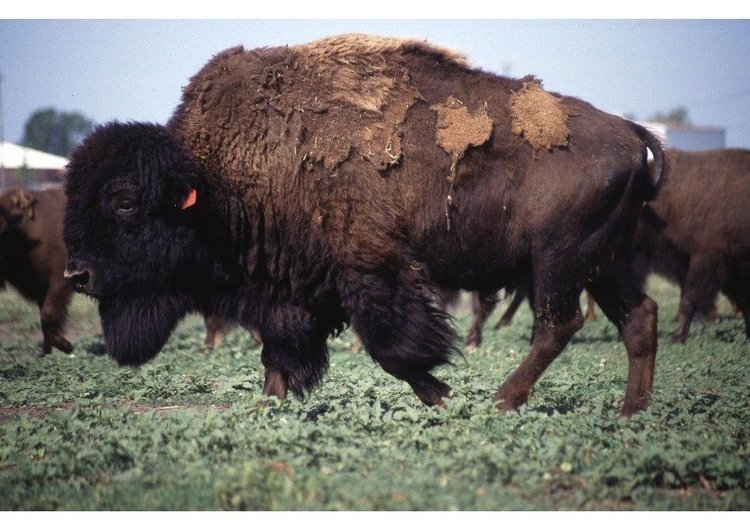 Photo american bison