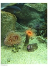 Photo anemone